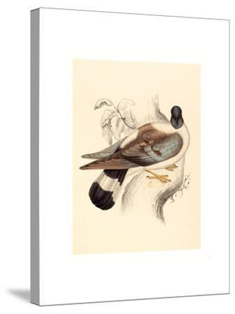 Columba Leuconota (Snow Pigeon), Colored Lithograph-Elizabeth Gould-Stretched Canvas Print