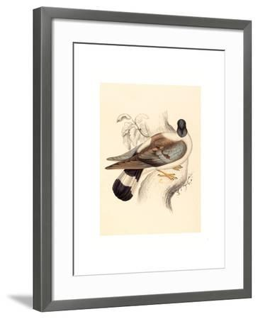 Columba Leuconota (Snow Pigeon), Colored Lithograph-Elizabeth Gould-Framed Giclee Print