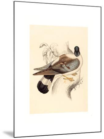 Columba Leuconota (Snow Pigeon), Colored Lithograph-Elizabeth Gould-Mounted Giclee Print