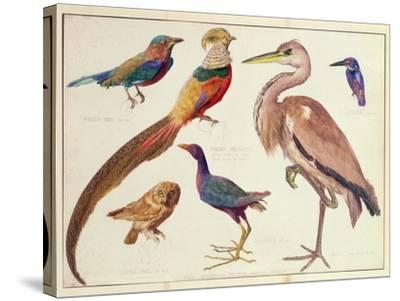 Studies of Birds from the Bootle Museum, Liverpool-Florence Emily Bark-Stretched Canvas Print