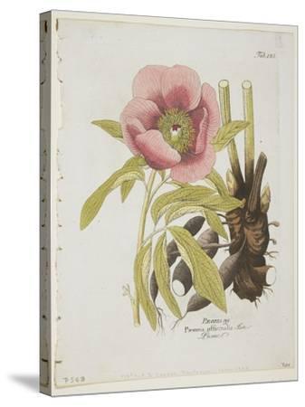 Paeonie-Ferdinand Bernhard Vietz-Stretched Canvas Print