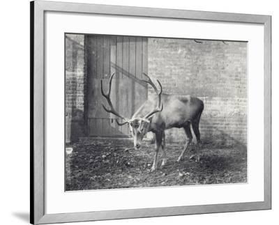 Wallich's Deer-Frederick William Bond-Framed Photographic Print