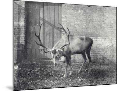 Wallich's Deer-Frederick William Bond-Mounted Photographic Print