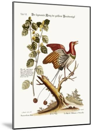 The Supposed King of the Greater Birds of Paradise, 1749-73-George Edwards-Mounted Giclee Print