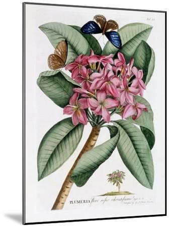 Plumeria, C.1749-Georg Dionysius Ehret-Mounted Giclee Print