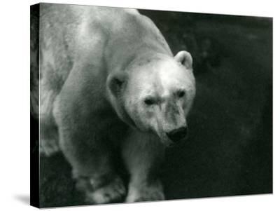 Polar Bear 'Sam' at London Zoo November 1920-Frederick William Bond-Stretched Canvas Print