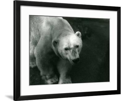 Polar Bear 'Sam' at London Zoo November 1920-Frederick William Bond-Framed Photographic Print