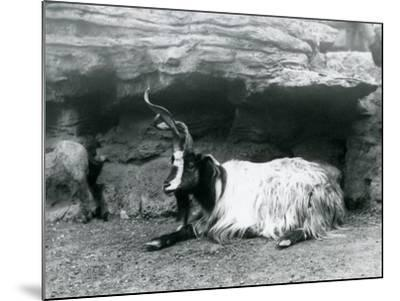 A Curly-Horned Goat at London Zoo, June 1922-Frederick William Bond-Mounted Photographic Print