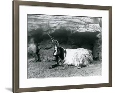 A Curly-Horned Goat at London Zoo, June 1922-Frederick William Bond-Framed Photographic Print