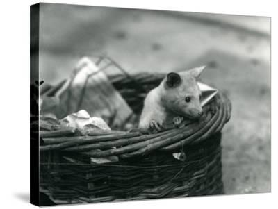 A Young Albino Opossum Peering Out of a Basket at London Zoo, October 1920-Frederick William Bond-Stretched Canvas Print