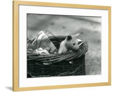 A Young Albino Opossum Peering Out of a Basket at London Zoo, October 1920-Frederick William Bond-Framed Photographic Print