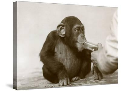 Young Chimpanzee 'Johnnie' Taking Cod-Liver Oil at London Zoo, April 1923-Frederick William Bond-Stretched Canvas Print