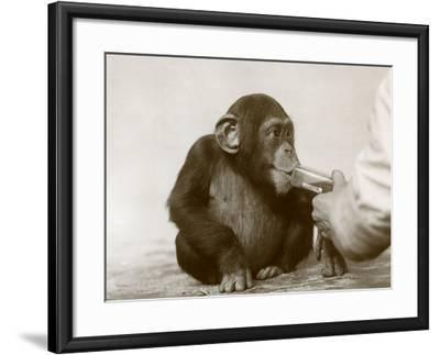 Young Chimpanzee 'Johnnie' Taking Cod-Liver Oil at London Zoo, April 1923-Frederick William Bond-Framed Photographic Print