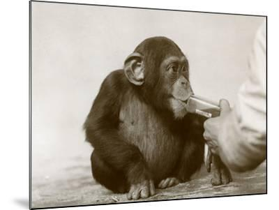 Young Chimpanzee 'Johnnie' Taking Cod-Liver Oil at London Zoo, April 1923-Frederick William Bond-Mounted Photographic Print