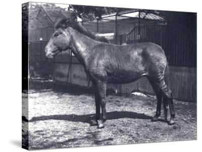 Hybrid Zebra/Horse at London Zoo, July 1916-Frederick William Bond-Stretched Canvas Print