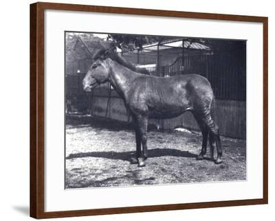 Hybrid Zebra/Horse at London Zoo, July 1916-Frederick William Bond-Framed Photographic Print