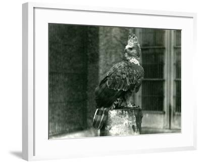 A Crowned Eagle at London Zoo, June 1922-Frederick William Bond-Framed Photographic Print