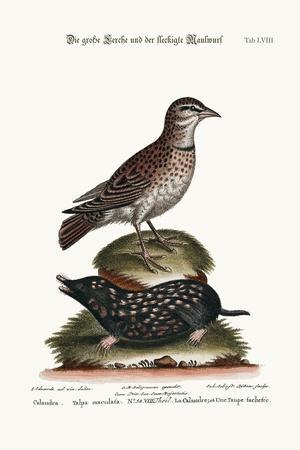 The Calandra, and the Spotted Mole, 1749-73-George Edwards-Stretched Canvas Print