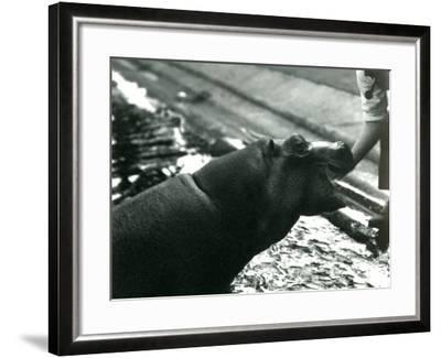 Young Hippopotamus 'Bobbie' with a Keeper at London Zoo, September 1920-Frederick William Bond-Framed Photographic Print