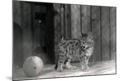 Leopard Cub with a Ball-Frederick William Bond-Mounted Photographic Print