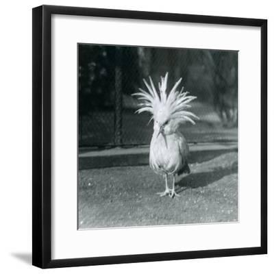 A Kagu or Cagu Displaying its Crest Feathers at London Zoo, June 1921-Frederick William Bond-Framed Photographic Print