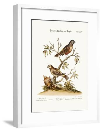 Two Sorts of Linnets from Angola, 1749-73-George Edwards-Framed Giclee Print