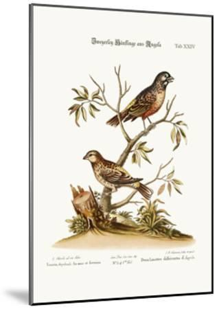 Two Sorts of Linnets from Angola, 1749-73-George Edwards-Mounted Giclee Print