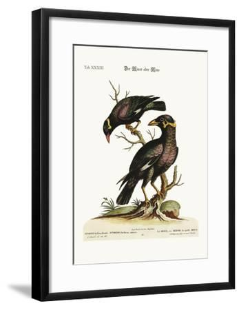The Minor or Mino, Greater and Less, 1749-73-George Edwards-Framed Giclee Print