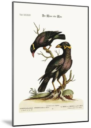 The Minor or Mino, Greater and Less, 1749-73-George Edwards-Mounted Giclee Print