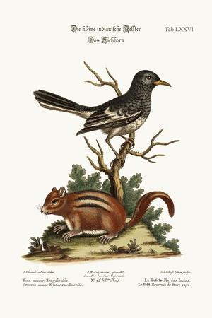 The Little Indian Pye. the Ground Squirrel, 1749-73-George Edwards-Stretched Canvas Print