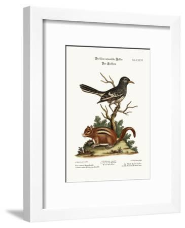 The Little Indian Pye. the Ground Squirrel, 1749-73-George Edwards-Framed Giclee Print
