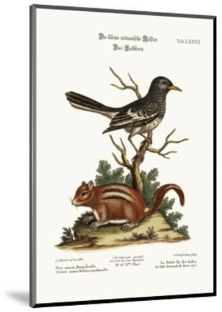 The Little Indian Pye. the Ground Squirrel, 1749-73-George Edwards-Mounted Giclee Print