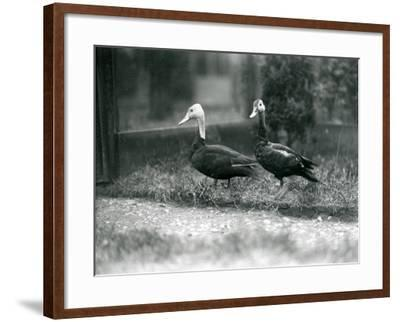 A Pair of Pink-Headed Ducks at Foxwarren Park in June 1926-Frederick William Bond-Framed Photographic Print