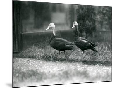 A Pair of Pink-Headed Ducks at Foxwarren Park in June 1926-Frederick William Bond-Mounted Photographic Print