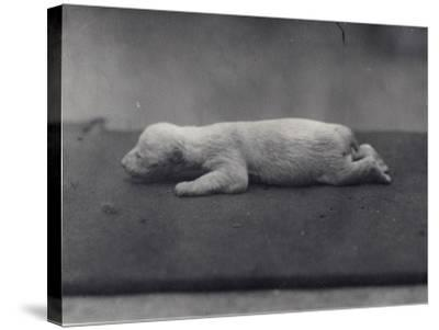 Polar Bear Cub with Eyes Not Yet Open, Lying on a Blanket at London Zoo, January 1920-Frederick William Bond-Stretched Canvas Print