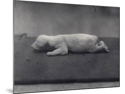 Polar Bear Cub with Eyes Not Yet Open, Lying on a Blanket at London Zoo, January 1920-Frederick William Bond-Mounted Photographic Print