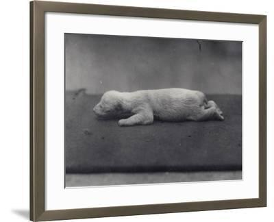 Polar Bear Cub with Eyes Not Yet Open, Lying on a Blanket at London Zoo, January 1920-Frederick William Bond-Framed Photographic Print