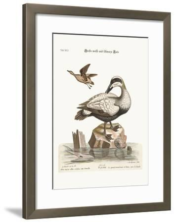 The Great Black and White Duck, 1749-73-George Edwards-Framed Giclee Print