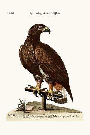 The White-Tailed Eagle, 1749-73-George Edwards-Stretched Canvas Print