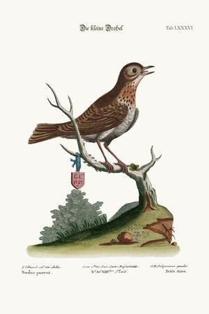 The Little Thrush, 1749-73-George Edwards-Stretched Canvas Print