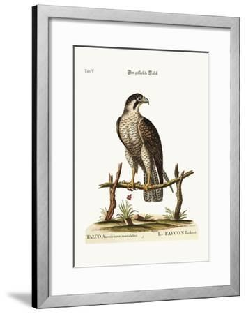 The Spotted Hawk or Falcon, 1749-73-George Edwards-Framed Giclee Print