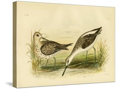 Great Sandpiper, 1891-Gracius Broinowski-Stretched Canvas Print