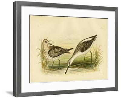 Great Sandpiper, 1891-Gracius Broinowski-Framed Giclee Print