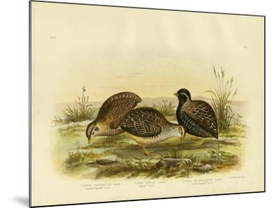 Chestnut-Backed Turnix, 1891-Gracius Broinowski-Mounted Giclee Print