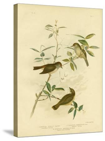Little Brown Thornbill, 1891-Gracius Broinowski-Stretched Canvas Print