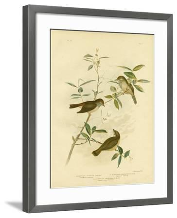 Little Brown Thornbill, 1891-Gracius Broinowski-Framed Giclee Print
