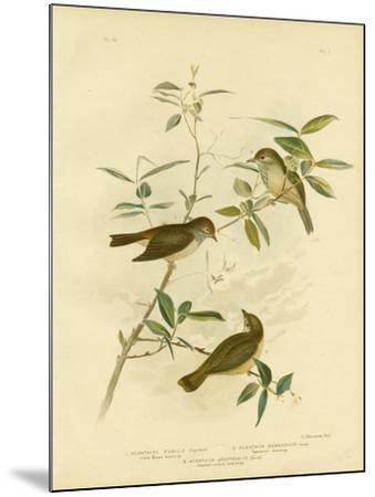 Little Brown Thornbill, 1891-Gracius Broinowski-Mounted Giclee Print