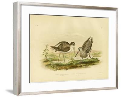 Marsh Sandpiper, 1891-Gracius Broinowski-Framed Giclee Print