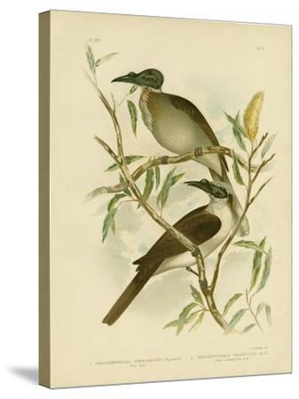 Noisy Friarbird, 1891-Gracius Broinowski-Stretched Canvas Print