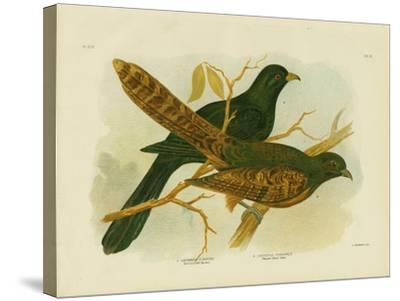 Pheasant Coucal, 1891-Gracius Broinowski-Stretched Canvas Print